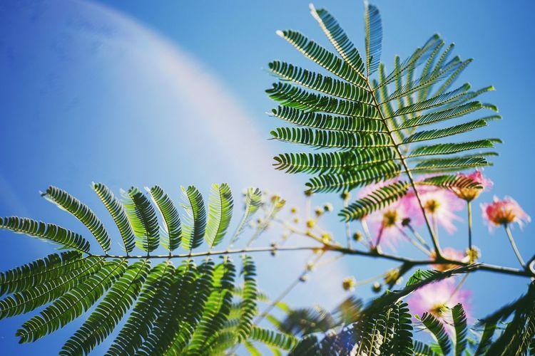 Tree Leaf Plant Part Clear Sky Blue Palm Tree Sky Close-up Plant Green Color Leaf Vein Natural Pattern Leaves Maple Leaf Palm Leaf