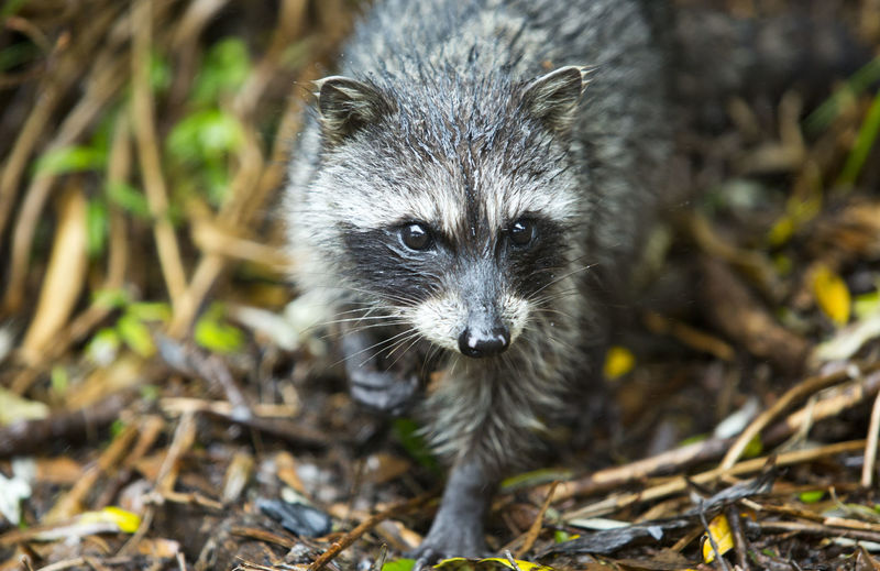Irazu National Park Animal Themes Animal Wildlife Animals In The Wild Mammal Nature No People One Animal Outdoors Raccoon Vertebrate