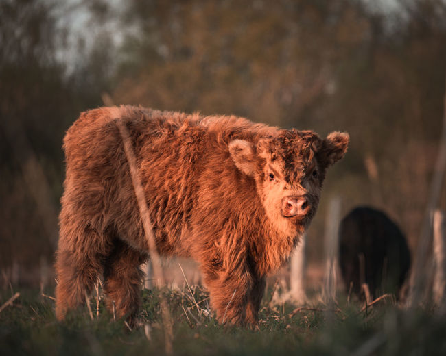 Scottish highland cattle