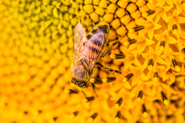 Close-up of a bee pollinating on yellow flower