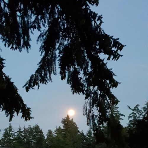 The moon through the trees at twilight. Urban Nightsky Lost In The Landscape