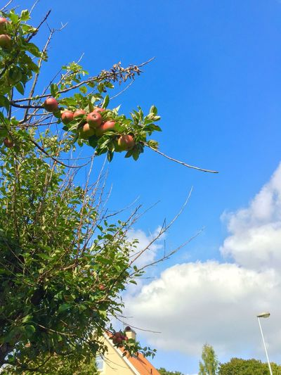 Low Angle View Growth Blue Tree Sky Beauty In Nature Branch Nature Plant Flower Day Cloud - Sky Scenics Cloud Fragility Blossom Lonely High Section Tranquility Green Apple Apples Apple Tree Apple - Fruit Single