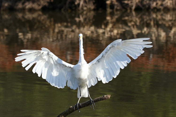 Egret flapping wings over lake