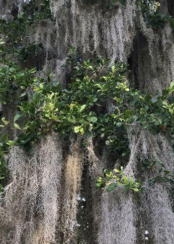 Spanish moss hanging in a Live Oak tree Spanish Moss Vertical Tree Live Oak