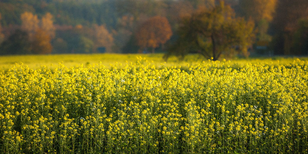 Agriculture Beauty In Nature Crop  Day Farm Field Flower Fragility Freshness Growth Landscape Mustard Fields Mustard Plant Nature No People Outdoors Plant Rural Scene Scenics Southern Germany Tranquil Scene Tranquility Yellow