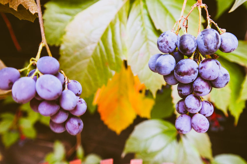 Wine Grape Beauty In Nature Blue Grapes Bunch Close-up Day Flower Food Food And Drink Freshness Fruit Grape Growth Healthy Eating Leaf Leaves Nature No People Outdoors Plant Plant Part Purple Ripe Selective Focus Winemaking