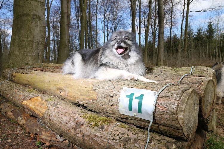 Keeshond dog lying on logs