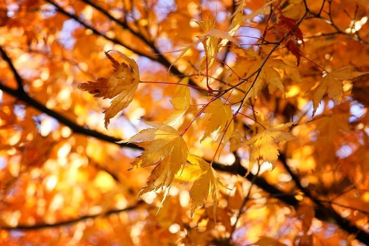 Autumn Leaf Change Nature Tree Branch Beauty In Nature Outdoors Maple Tree Twig Day Scenics No People Maple Leaf Tranquility Sunlight Low Angle View Hockey Close-up Fragility