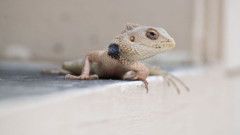 Animal Themes Animal Wildlife Animals In The Wild Bearded Dragon Close-up Day Iguana Indoors  Lizard Nature No People One Animal Reptile Selective Focus