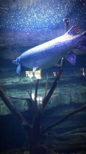 Was At The Auqarium Down In Branson MO ThatsOneBigFish! HadFun Hadagreattime 😉