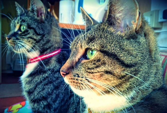 Dexter and Cookie Cats Of EyeEm Tabby Cats Cat Brothers Close-up Pets Animal Heads