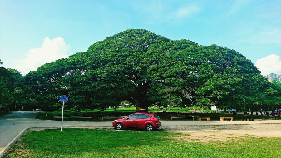 Giant tree Big
