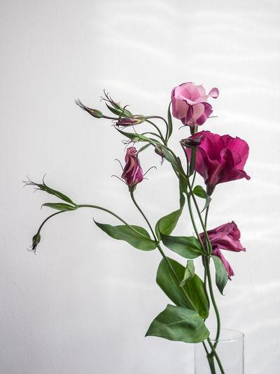 Blooming Blossom Bud Flower Flower Head Fragility Freshness In Bloom Pink Color Plant