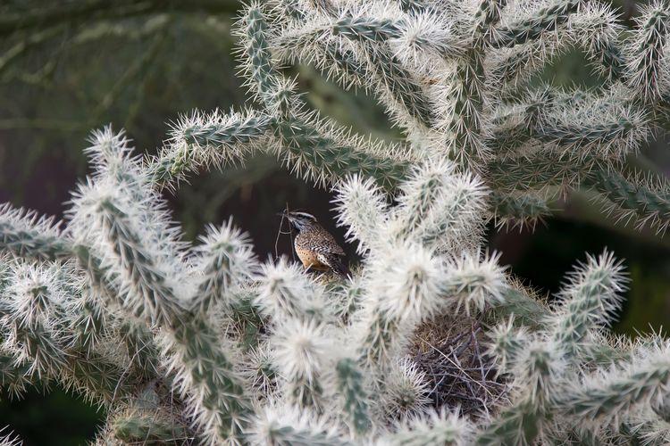 Cactus wren building a nest in cholla cactus.