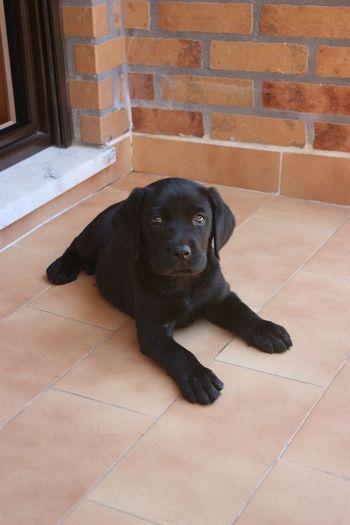 Blacklabrador Blacklab Labrador Labrador Retriever BlackDog LabPuppy LabradorPuppy Puppydog Blackretriever Black Labrador