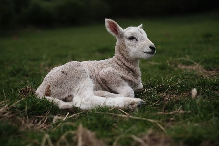 Farm Farm Life Lamb Mammal Animal Themes Animal One Animal Vertebrate Grass Field Animals In The Wild Domestic Animals Animal Wildlife Relaxation Plant No People Sheep Land Nature Growth Resting Pets Day