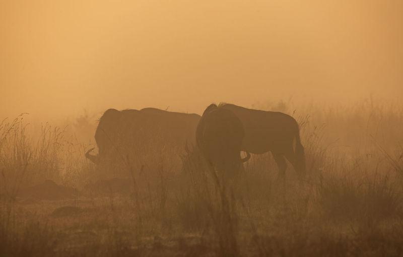 Wildebeests grazing on field during sunrise