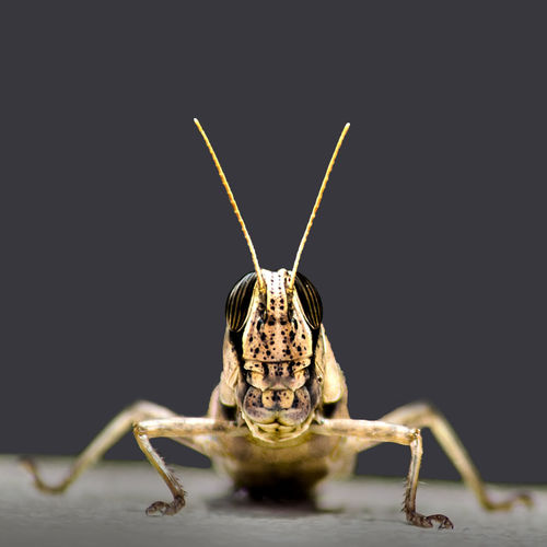 The grin :) Animal Antenna B Black Background Brown Bugslife Close-up Desert Locust Evil Focus On Foreground Insect Locust Macro Macro Beauty Macro Photography Nature No People Selective Focus Smile Studio Shot