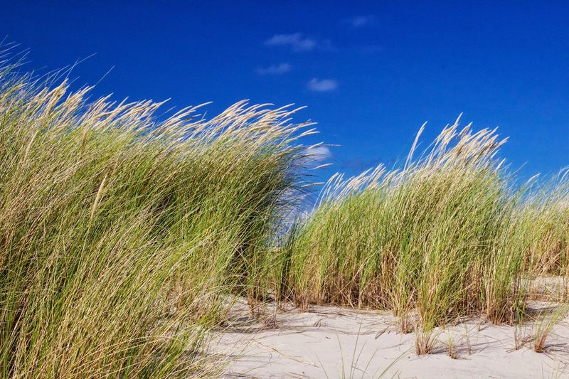 Marram grass Growth Nature Blue No People Blue Sky Day Tranquil Scene 3XSPUnity Outdoors Tranquility Beauty In Nature Landscape