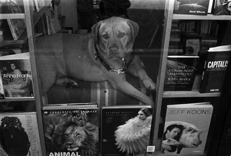 Rosa sitting the Window Animal Animal Head  Animal Themes Business Choice Composition Creativity Dog Domestic Animals Front View Happiness Indoors  Looking At Camera Mammal Occupation One Animal Perspective Pets Pets Pet Dog Doggies K9 Canine Rosa Window Books Glass Laying Peaceful Black And White Monochrome Film Digital Images Photoghraphy Photograph Photographer Documentary Reportage Taking Photos Images Bookshop Books Book Second Hand 2nd Hand Brixton London Portrait Relaxation Sitting