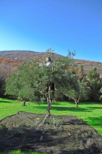Calabria (Italy) Farmer Man At Work Olive Tree Farming Italy Olive Harvest Olive Harvesting Olive Tree Landescape Traditional Job Traditional Jobs Tree