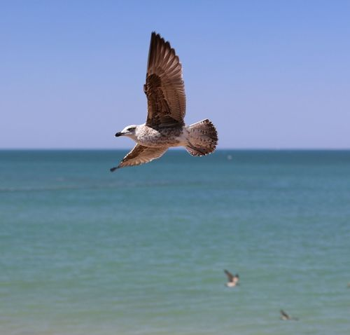 Chipiona Flying Bird Animal Wildlife Sea Animals In The Wild Spread Wings Water Nature Outdoors Beach No People Beauty In Nature Day Sky Clear Sky Horizon Over Water