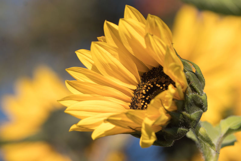 Paint The Town Yellow Sunflower Beauty In Nature Blooming Close-up Day Flower Flower Head Fragility Freshness Growth Nature No People Outdoors Petal Plant Pollen Yellow
