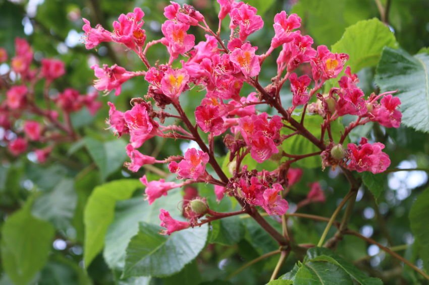 Flower Tree Flower Head Pink Color Branch Red Leaf Close-up Plant