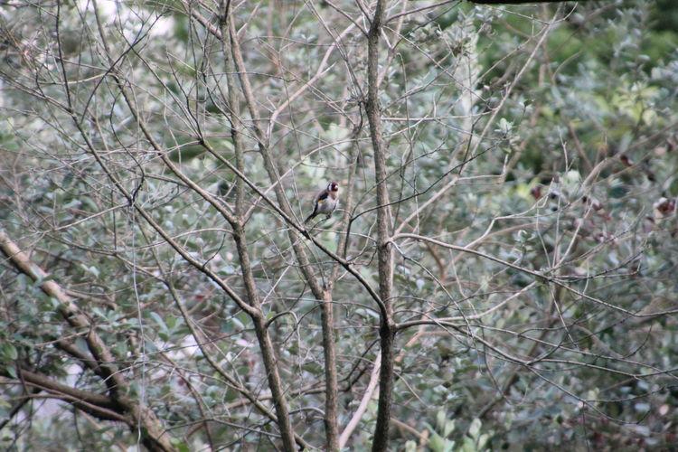 ჩიტბატონა The European goldfinch or goldfinch (Carduelis carduelis) Beauty In Nature Branch Close-up Day European Goldfinch Focus On Foreground Forest Growth Low Angle View Nature No People Outdoors Perching Selective Focus Tranquility Tree Tree Trunk Twig Wildlife ჩიტბატონა