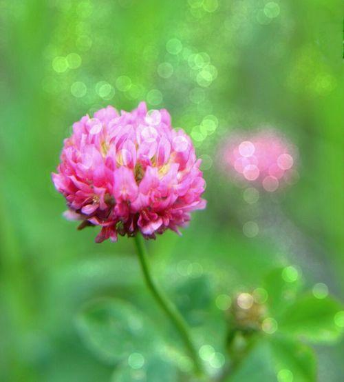 клевер розовое