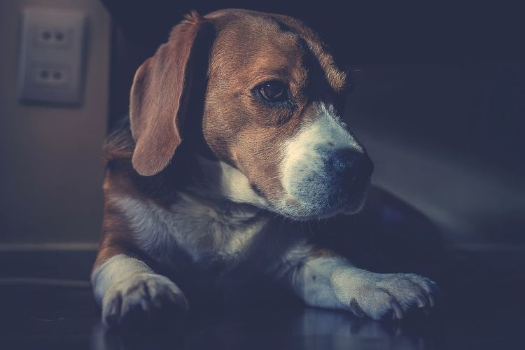 Colorpallet Colorpallete Pet AnimalTheme Pose Looking Domesticanimals Indoors  Friendforever Friendship PortraitPhotography Resting Tranquility 35mm Dogphotography Concentration Modeldog  Rest Mammal Pets Dog Portrait Puppy Black Background Cute Close-up Beagle Canine Friend