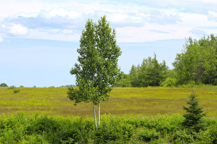 Birch Trees in a Green Field Field Trees Birch Birch Trees Birch Tree Birches Outdoors Non-urban Scene Cloud - Sky Scenics - Nature Nature Grass Day Beauty In Nature Land Green Color Landscape Growth Tree