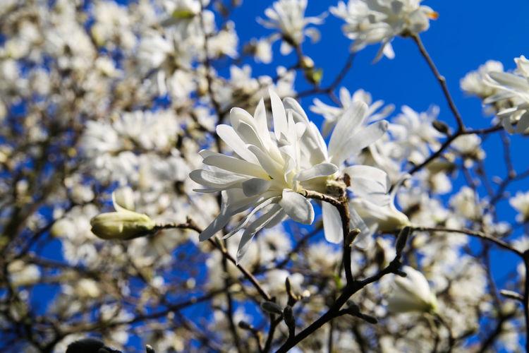 Close-up of white blossom against blue sky