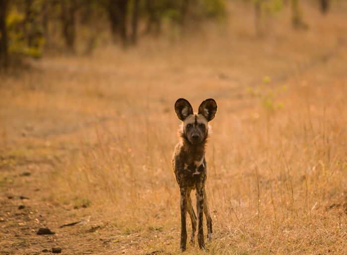 Wild Dog Standing On Field