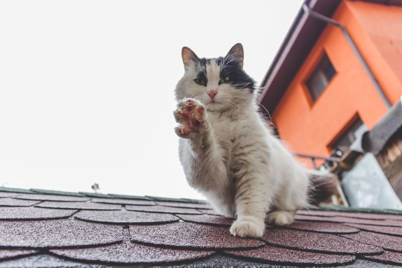 Cat On Tiled Roof Against Clear Sky