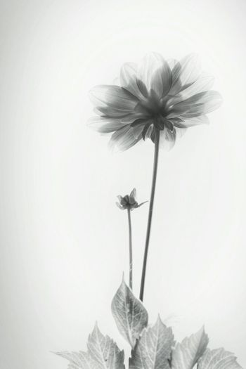 Bnwphotography Bnw_collection Showcase March Light And Shadow Flowerporn Getting Inspired Bnwflowers Bnwflower White Background White Album Minimal