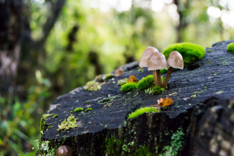 Beauty In Nature Close-up Freshness Fungus Growth Leaf Mushroom Mycena Nature Outdoors Patagonia Plant Selective Focus Textured  Tranquility Tree Tree Stump