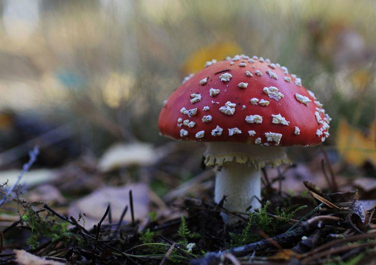 Amanita Muscaria Autumn Forest Fungus Mushroom Nature Poland Whitedots