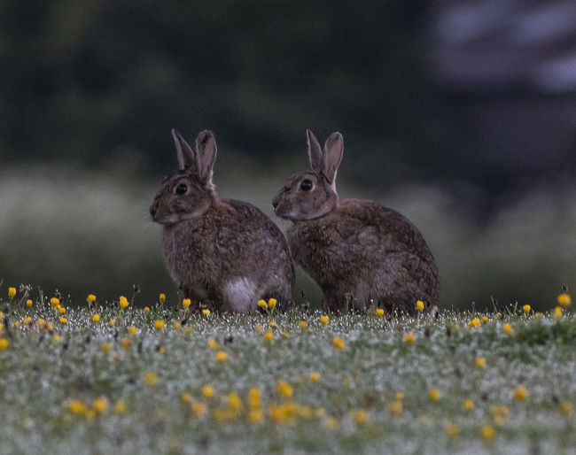 Pair of rabbits