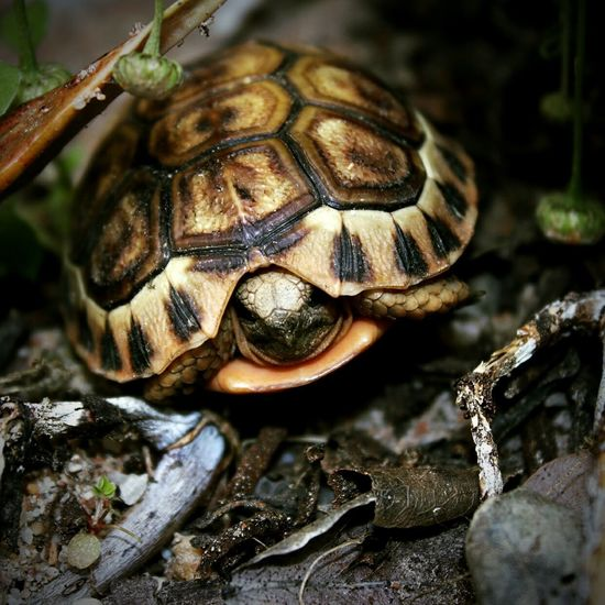 Baby Tortoise Tortoise One Animal Animal Tortoise Shell Close-up No People Nature Outdoors Portrait Cutiepie Tiny Canonphotography Canon Eos 80d Canon_photos