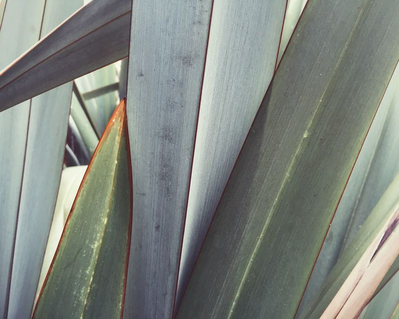 Graphic closeup of New Zealand flax - a typical structural green addition to many gardens and parks. Beauty In Nature Close-up Day Full Frame Green Color Grey Growth London Nature New Zealand Flax No People Park Plant Sharp Stripes Everywhere Structure