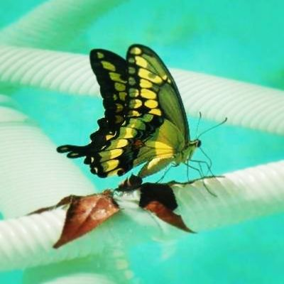 Butterfly in the pool