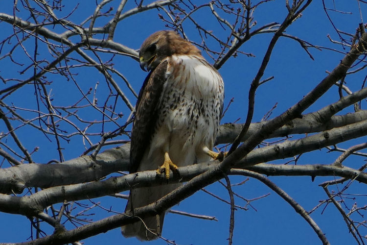 Red tailed hawk, in New York. NYC Photography Red Tailed Hawk Urban Wilderness Clear Sky Day Low Angle View Nature No People Sky Wild In Nyc