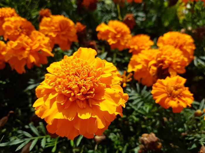Tagetes is