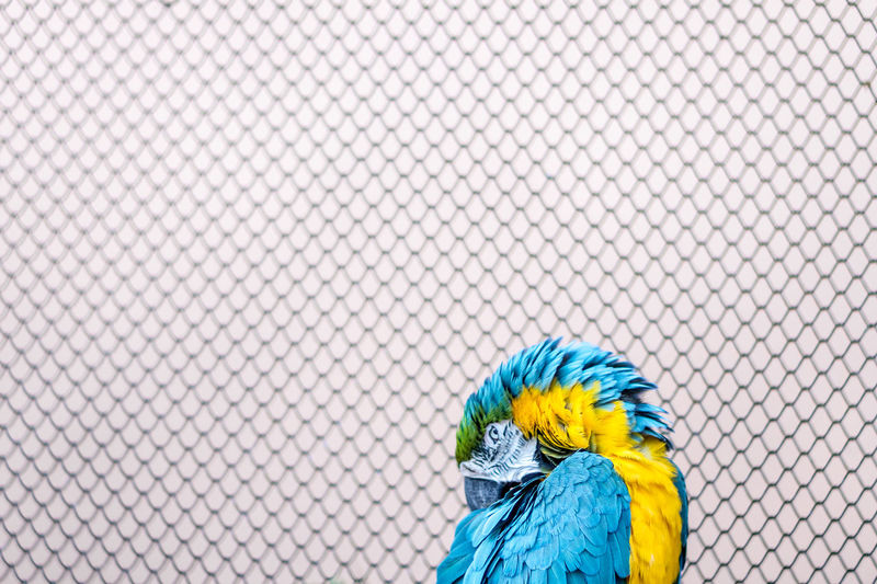 Animal Themes Bird Blue Close-up Colorful Day No People Outdoors Parrot Trapped Yellow Fresh On Market 2017