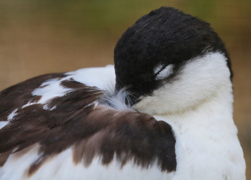 Sleeping Avocet Animal Animal Body Part Animal Head  Animal Themes Animal Wildlife Animals In The Wild Bird Black Color Close-up Day Focus On Foreground Looking Mammal Nature No People One Animal Outdoors Relaxation Vertebrate Whisker White Color Zoology