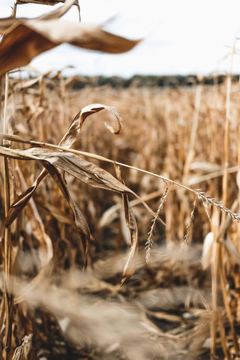 It's a harvest season! Agriculture Autumn Colors Autumn Leaves America Beauty In Nature Bokeh Background Cereal Plant Close-up Corn Corn Field Day Dry Field Growth Harvest Harvest Time Harvesting Nature No People Outdoors Plant Sharp Tranquility