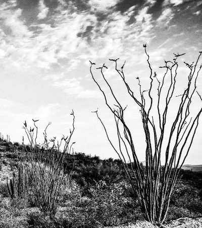 Southwest Arizona Desert. Nature Landscape Outdoors Sky Tranquility Tranquil Scene Plant No People Silhouette Tree Grass Beauty In Nature Day Growth Bare Tree Scenics Dead Tree Ocotillo Cactus JGLowe Arid Climate