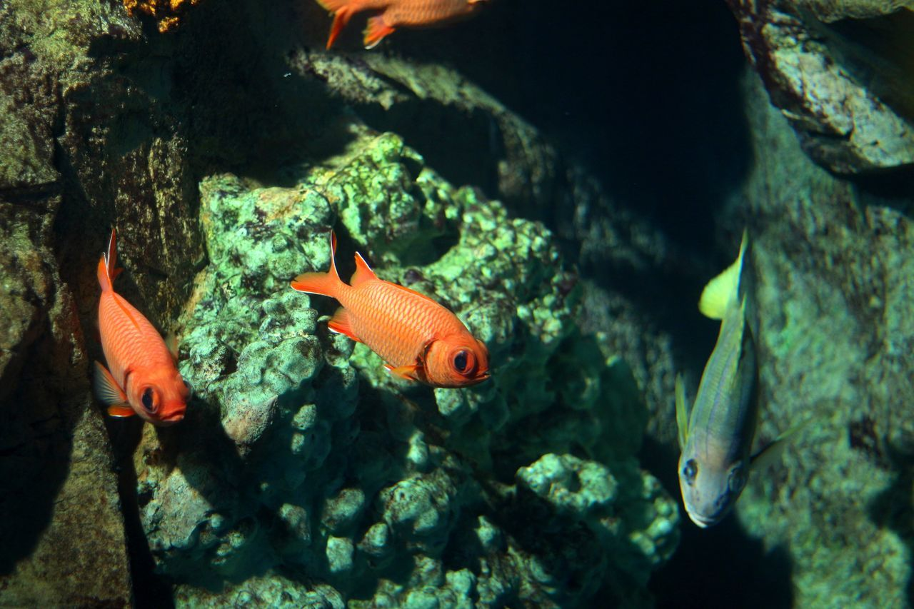 fish, water, animal themes, swimming, nature, animals in the wild, sea life, underwater, goldfish, no people, carp, animal wildlife, day, beauty in nature, close-up, indoors, undersea
