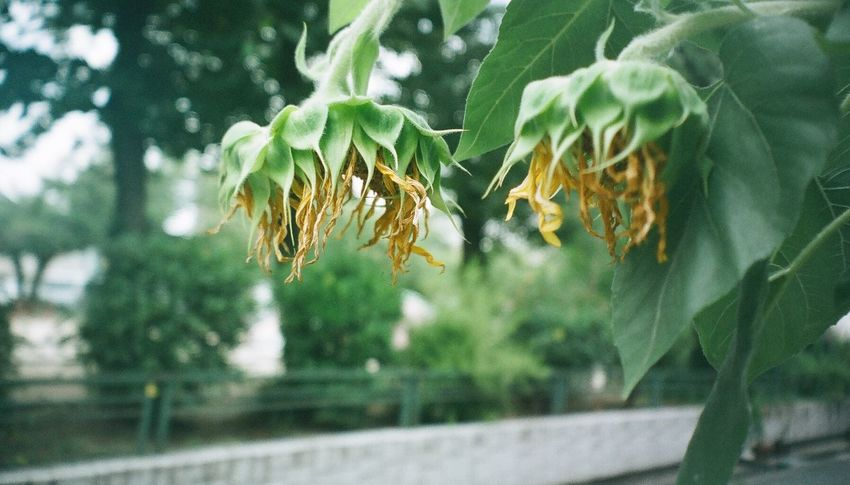 Nikon NikonFM2 Film Photography 35mm Film Filmcamera Flower Sunflower End Of Summer